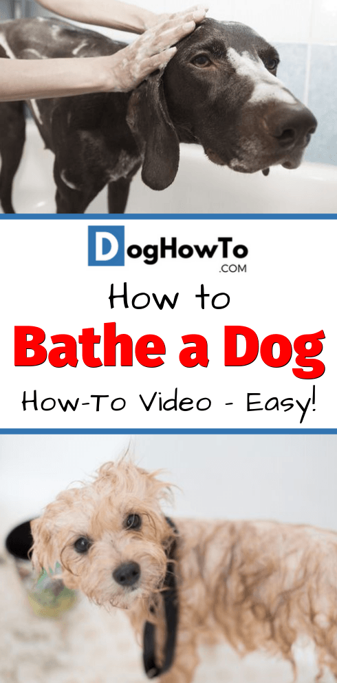 How to bathe your dog video with easy to follow step by step instructions. 9 quick steps to make bathing your dog easy and mess-free. Watch a helpful video on bathing your dog in this article!