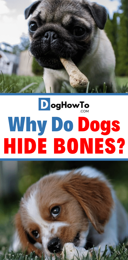 Why dogs hide bones? Find out the EXACT reason why do dogs hide bones, and what you need to do about it. Learn absolutely everything about dogs hiding bones just by reading this article!